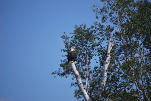 Everyday we would see Bald Eagles
