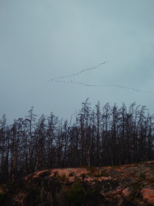 Geese flying South for Winter